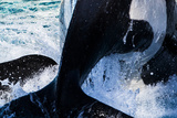 Killer Whale Dive Photographic Print