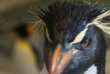 Rockhopper Penguin Photographic Print by Mike Aguilera