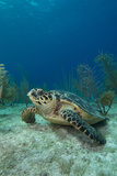 Sea Turtle on Ocean Floor Photographic Print