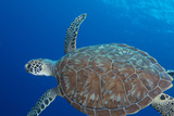 Sea Turtle Swimming Photographic Print
