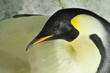 emperer Penguins Photographic Print by Mike Aguilera