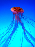 Sea Nettle Photographic Print