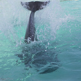Dolphin Tail Splash Photographic Print