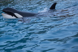 Killer Whale Swimming Photographic Print