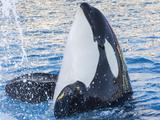 Killer Whale Splash Photographic Print