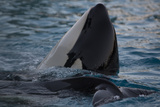 Killer Whales Photographic Print