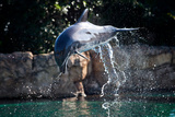 Dolphin Jumping Fotografisk tryk