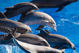 Pod of Dolphins Swimming Fotografisk tryk