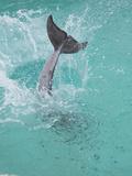 Dolphin Tail Splash Fotografisk tryk