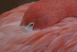 Flamingo Detail Photographic Print
