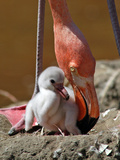 Mother and Baby Flamingo Photographic Print