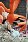Baby and Mother Flamingo Photographic Print