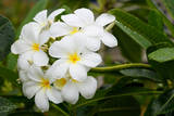 White Plumeria Flowers with Water Drops Fotografisk tryk af Donyanedomam