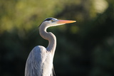 Great Blue Heron Bird Photographic Print