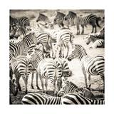Zebras Giclee Print by Joani White