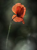 Red Poppy Metal Print by Ursula Abresch