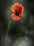 Red Poppy Metal Print by Ursula Abresch