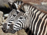 Two Zebras are Pictured in their Enclosure at the Zoopark in Erfurt, Germany Photo by Martin Schutt
