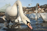 Swans Swim on the River Elbe in Dresden, Germany Pôsteres por Sebastian Kanhert