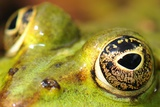 Close-Up of the Eye of a Frog in a Pond Awaiting His Prey Prints