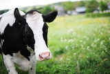 A Cow in a Field Posters