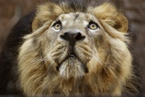 A Lion in Captivity Looking Up Foto