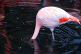 A Flamingo with its Head Submerged in a Pool Photo