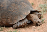 South Africa - Tortoise Eating at Addo Elephant National Park Foto