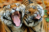 Two Tigers Yawning Prints