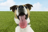 Jack Russell Terrier, Panting, Close-Up Photo