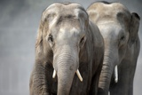 Two Asian Bull Elephants Trotting at the Zoo in Heidelberg, Germany Photo by Ronald Wittek