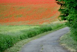 A Field of Red Poppy Flowers Photo by Frank May