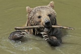 A Brown Bear Walking Through the Water with a Stick in its Mouth Photo