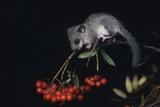 Dormouse Sitting on Rowan Branch Photo