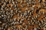 A Honeycomb Is a Mass of Hexagonal Wax Cells Built by Honey Bees in their Nests Posters by Frank May