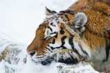 A Siberian Tiger Sleeping in the Snow Posters