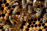 A Honeycomb Is a Mass of Hexagonal Wax Cells Built by Honey Bees in their Nests Prints by Frank May