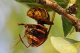 A Hornet, Hanging on a Branch, Eats a Bee Near Kolitzheim, Germany Posters by Daniel Karmann