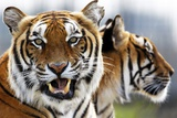 Two Bengal Tigers in their Zoo Enclosure Photo