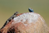 Lizards on a Rock in Sanbona Wildlife Reserve, Western Cape, Capetown, South Africa Poster