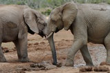 South Africa - Addo Elephant National Park Poster