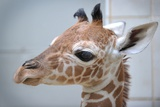 Carlo, a Baby Giraffe at the Nuremberg Zoo Posters