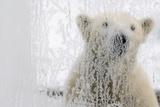 A Polar Bear as Seen Through a Icy, Frozen Window Photo