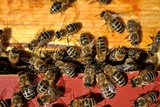 A Beehive Is an Enclosed Structure in Which Some Honey Bee Species of the Subgenus Apis Live Photo by Frank May
