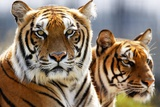 Bengal Tigers in a Zoo Enclosure Photo