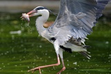 A Blue Heron Flies with over a River with a Fish in His Beak Photo
