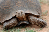 South Africa - Tortoise at Addo Elephant National Park Foto
