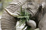 An Elephant Cow at the Opel Zoo in Kronberg Eats the Remains of a Christmas Tree (Fir Tree) Posters