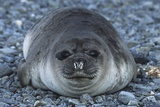 Antarctica, South Georgia Island, Weddell Seal on Pebble Beach, Close Up Prints