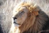 A Lion Rests in the Grass at the The Rhino and Lion Nature Reserve Poster von Achim Scheidemann